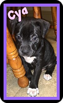 American Pit Bull Terrier Mix Puppy for adoption in Covington, Louisiana - Cya