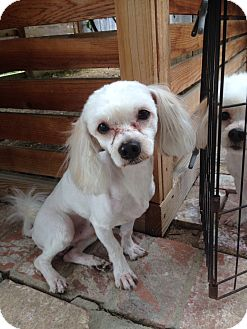 Maltese Mix Dog for adoption in Studio City, California - Felix