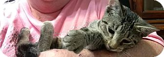American Shorthair Kitten for adoption in Texarkana, Arkansas - Paisley