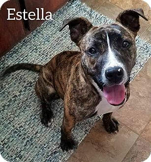 "Boxer/American Pit Bull Terrier Mix Puppy for adoption in Franklin, Tennessee - Estella ""Stella"""