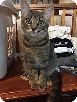 Domestic Shorthair Kitten for adoption in Lindsay, Ontario - Licorice