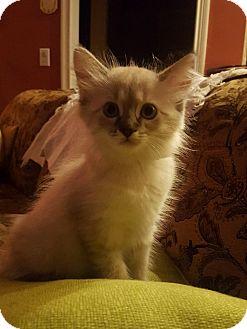 Domestic Longhair Kitten for adoption in Cincinnati, Ohio - Luna