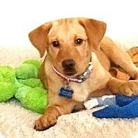 Adopt A Pet :: Isabella - Austin, TX