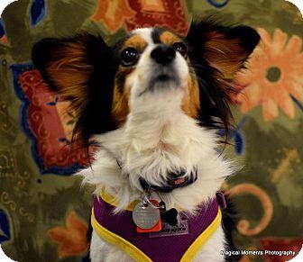 Papillon Dog for adoption in Edmond, Oklahoma - Winter