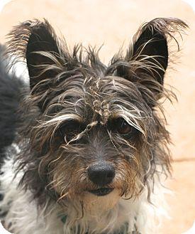 Schnauzer (Miniature)/Terrier (Unknown Type, Small) Mix Dog for adoption in Allentown, Pennsylvania - Manny