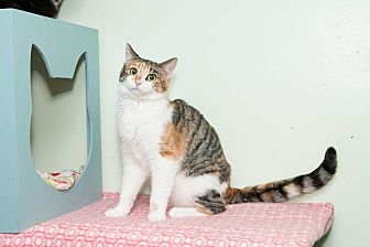 Domestic Shorthair Cat for adoption in Chicago, Illinois - Lisa