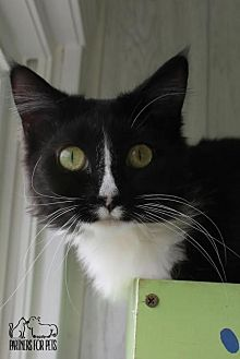 Domestic Shorthair Cat for adoption in Troy, Illinois - Sassy