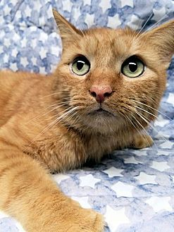 Domestic Mediumhair Cat for adoption in Sidney, Maine - Carlisle