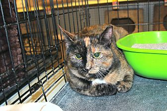 Domestic Shorthair Cat for adoption in Rochester, Minnesota - CAS