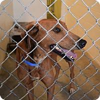 Adopt A Pet :: Roman - Westerville, OH
