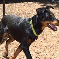 Adopt A Pet :: Darla - Penngrove, CA