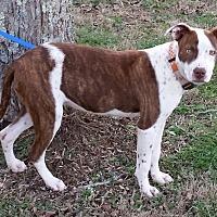 Adopt A Pet :: Nadia - Normandy, TN
