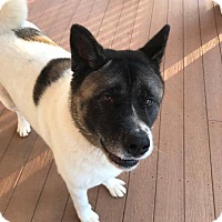 Akita Mix Dog for adoption in Portland, Maine - Mika