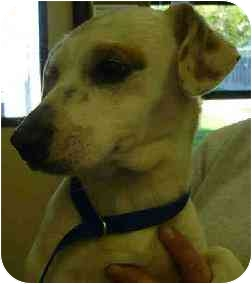 Jack Russell Terrier Mix Dog for adoption in San Clemente, California - JOE