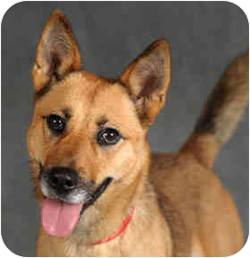 Shepherd (Unknown Type)/Basenji Mix Dog for adoption in Chicago, Illinois - Sheba