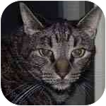 Domestic Shorthair Cat for adoption in Peoria, Illinois - Charlie