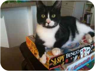 Domestic Shorthair Cat for adoption in Modesto, California - Little Buddy