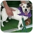 Photo 2 - Jack Russell Terrier Dog for adoption in Sacramento, California - Raider great dog