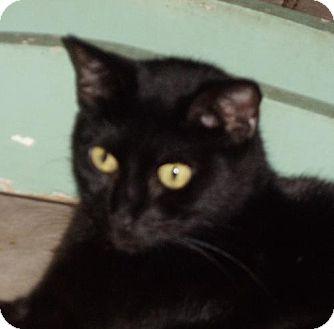 Domestic Shorthair Cat for adoption in Palm City, Florida - Ashton