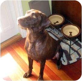 Labrador Retriever Dog for adoption in Altmonte Springs, Florida - Penelope