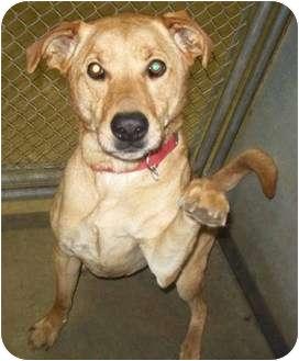 Labrador Retriever Mix Dog for adoption in Marseilles, Illinois - Montana