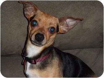 Beagle/Chihuahua Mix Dog for adoption in Fort Collins, Colorado - Sugar