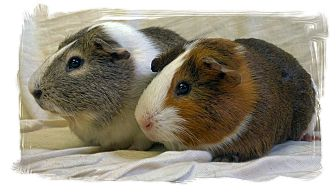 Guinea Pig for adoption in Lewisville, Texas - Caramel and Mocha
