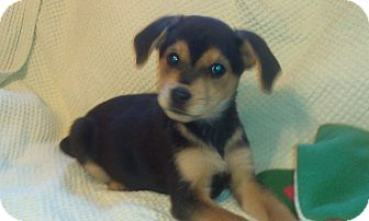 Beagle Mix Puppy for adoption in Newark, Delaware - Max
