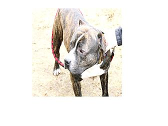 American Staffordshire Terrier Mix Dog for adoption in North Kingstown, Rhode Island - Dillon