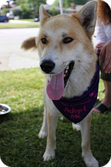 Siberian Husky/Shepherd (Unknown Type) Mix Dog for adoption in Los Angeles, California - Bodhi