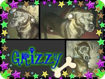 Dachshund/American Pit Bull Terrier Mix Dog for adoption in Alamosa, Colorado - Grizzy