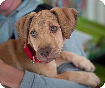 Basset Hound/Hound (Unknown Type) Mix Puppy for adoption in Nashville, Tennessee - Ginger
