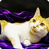 Domestic Shorthair Cat for adoption in Flower Mound, Texas - Emma Diane