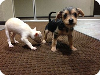 Chihuahua/Maltese Mix Puppy for adoption in Englewood, New Jersey - Clyde