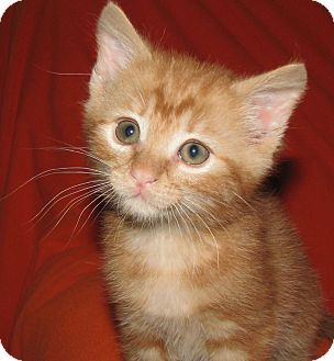 Domestic Shorthair Kitten for adoption in Chattanooga, Tennessee - Butterscotch