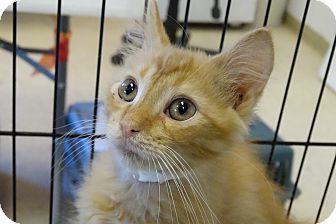 Domestic Mediumhair Kitten for adoption in Elyria, Ohio - Zoom