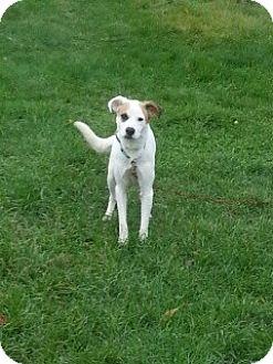 Beagle/Terrier (Unknown Type, Medium) Mix Dog for adoption in Treton, Ontario - Kaos