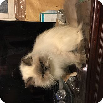 Himalayan Cat for adoption in Buchanan, Tennessee - Sherry