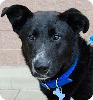 German Shepherd Dog/Labrador Retriever Mix Dog for adoption in Arlington Heights, Illinois - Fabian