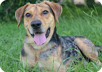 Coonhound (Unknown Type)/Catahoula Leopard Dog Mix Dog for adoption in LAFAYETTE, Louisiana - JIMBOB