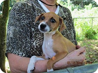 Jack Russell Terrier/Feist Mix Puppy for adoption in Lincolndale, New York - Keegan