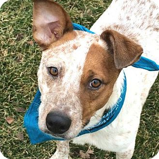 Cattle Dog Mix Dog for adoption in Denver, Colorado - Charlie