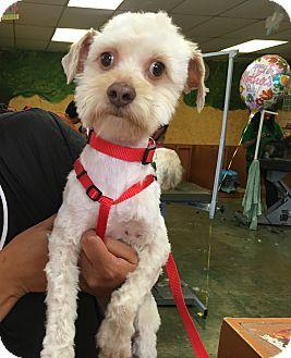 Poodle (Miniature)/Maltese Mix Dog for adoption in Thousand Oaks, California - Gilbert