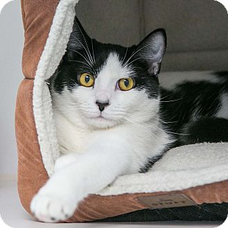 Domestic Shorthair Cat for adoption in Staunton, Virginia - Patches