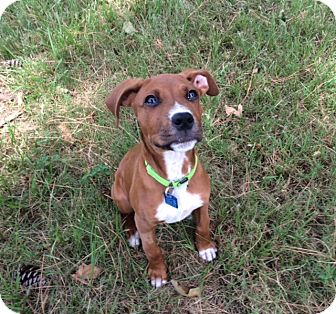 Boxer Mix Puppy for adoption in Houston, Texas - Christy
