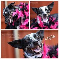 Adopt A Pet :: Layla - Fort Worth, TX