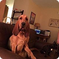 Adopt A Pet :: Arthur - Fayetteville, AR