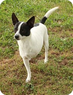 Rat Terrier Mix Dog for adoption in Salem, New Hampshire - Gnash