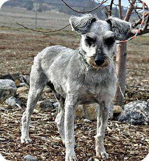 Miniature Schnauzer Mix Dog for adoption in Yreka, California - Sparkie