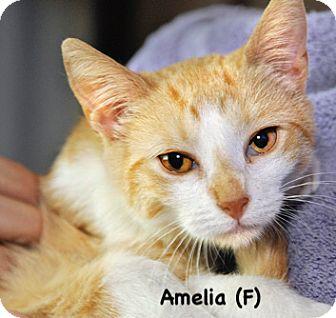 Domestic Shorthair Kitten for adoption in West Orange, New Jersey - Amelia